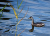 Grebe, Lake Pertobe, Warrnambool
