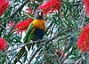 Rainbow Lorikeet perched in a bottlebrush.