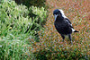 Windblown young magpie perched on top of a hedge, Flagstaff Hill, Warrnambool