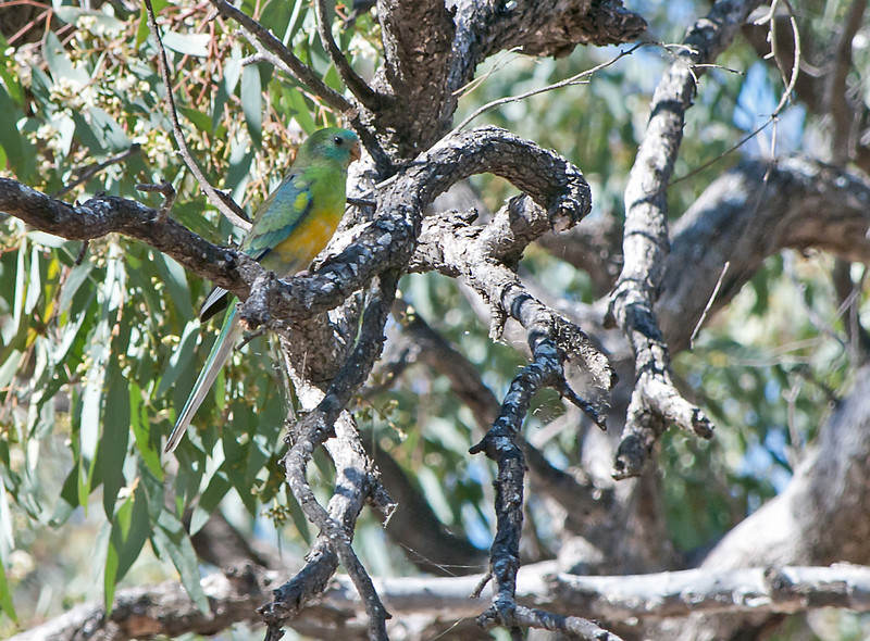 Red-rumped Parrot (male)<br /> Near Lake Hindmarsh, Victoria<br /> December 2010