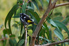 New Holland Honeyeater, Lorne, Vic