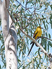 Regent Parrot, Lake HIndmarsh, Victoria<br /> December 2010