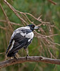 And yet another common or garden variety Magpie.<br /> Blind Creek Trail, February 2011