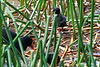 Baby Purple Swamp Hens hiding in the reeds, and making life difficult for this would-be photographer.