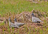 Crested Pigeons, Blind Creek Trail<br /> February 2011