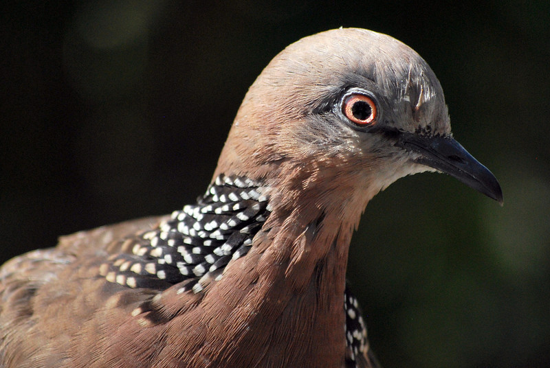 Spotted turtledove, conveniently posing.