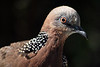 Spotted Turtledove.  Something to practice on.