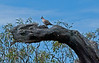 Crested Pigeon, Wyperfield National Park<br /> December 2010
