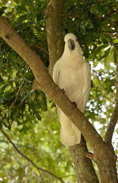Sulphur-crested Cockatoo, shaded in green.