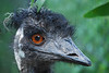 My, what big eyes you have!<br /> Emu, Healesville Sanctuary, Vic