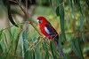 Crimson Rosella (adult), Lorne, Vic