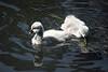 Black Swan cygnets, RBG Melbourne