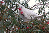 Little Corella, Wantirna, Vic