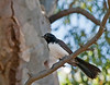 Willie Wagtail posing on a branch.<br /> Murtoa, Victoria, Dec 2010