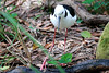 Black-winged Stilt, Corrumbin Sanctuary, QLD