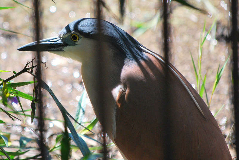 Unfortunately, this Nankeen Night Heron was on the wrong side of an ornmental fence.