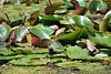 Lilypads make a wonderful bath for a very small moorhen...