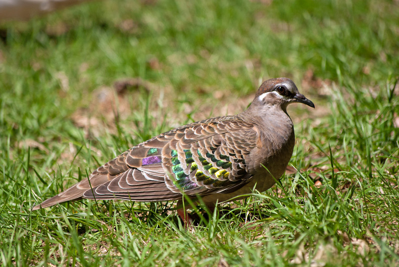 White? Red? Green?  -Bronze- is the only way to go...<br /> (Common Bronzewing, Maroondah Reservoir, January 2011