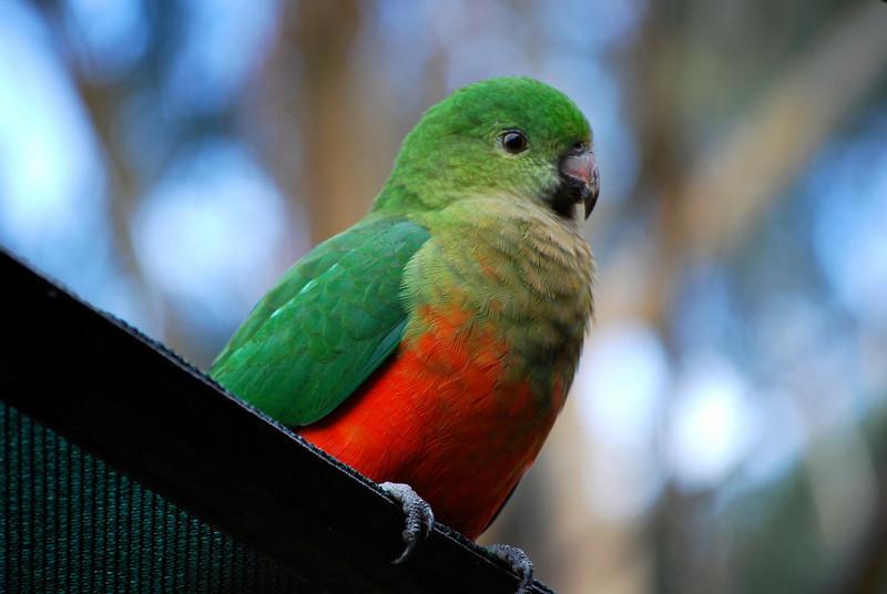 King Parrot (female or juvenile)