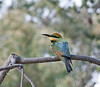 Rainbow Bee-eater, Little Desert National Park, Victoria<br /> December 2010
