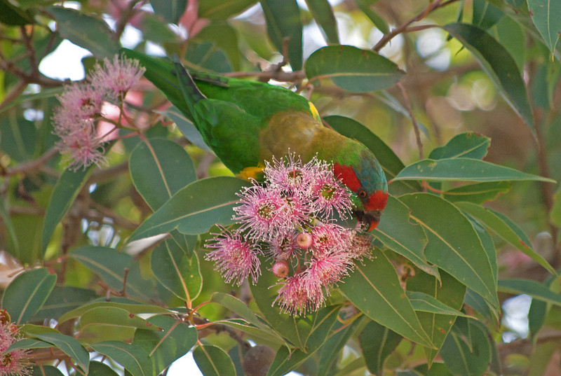Musk Lorikeet<br /> February 2011, Knox City