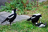Magpies behaving badly
