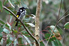 New Holland Honeyeater, Koomba Park, Victoria