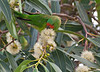 Little Lorikeet<br /> Blind Creek Trail, February 2011