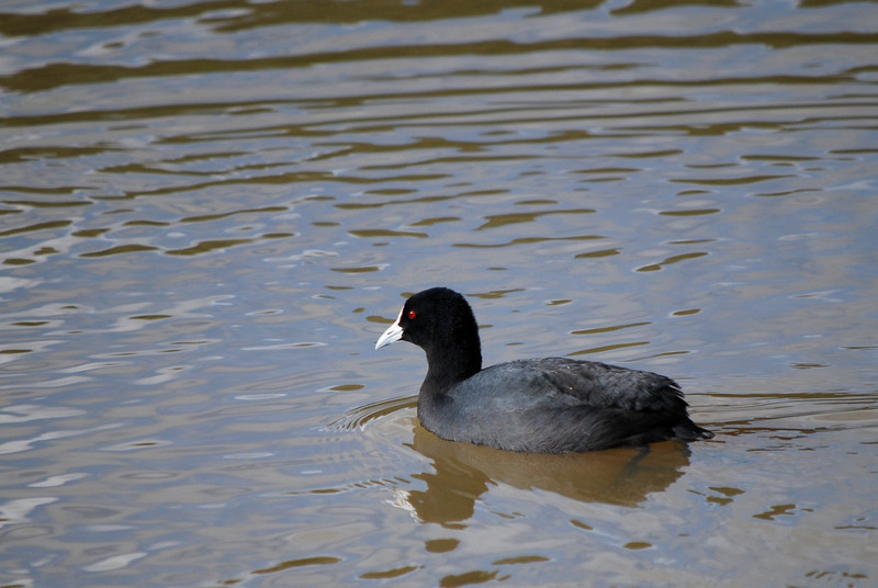 Eurasian Coot, Jell's Park, Victoria