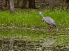 White-faced Heron.  Not the greatest image, but I liked the pond.