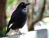 Pied Currawong, Corrumbin Sanctuary, QLD