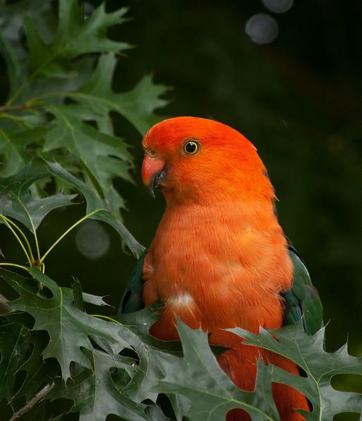 Male King Parrot, Maroondah Reservoir, January 2011