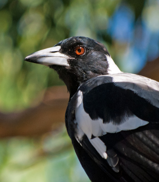 Australian Magpie<br /> Jell's Park, January 2011