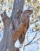 Tawny Frogmouths found in Murtoa, Victoria.<br /> Not the greatest of images, but it was a total thrill just to spot these amazing birds.