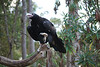 Wedgetail Eagle, Healesville Sanctuary, Vic