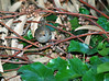 Brown Thornbill?<br /> Discovered a small flock of these beautiful little things in the back yard late this afternoon<br /> 5 November 2010