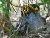 Feed me, Mama!<br /> Baby Noisy Miners.  Nest spotted in a bush beside the Dandenong Creek Bike Trail, September, 2010.