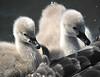 Black Swan cygnets, Royal Botanic Garden, Melbourne