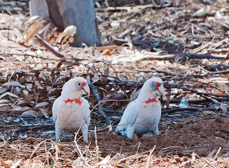Oh, yeah?<br /> (Long-billed Corellas, Murtoa, Victoria)