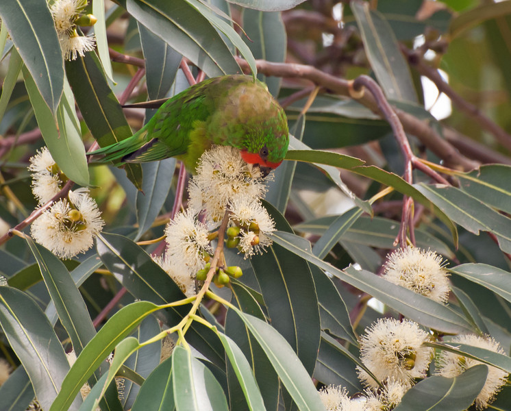 Sunshine on my shoulders..<br /> Little Lorikeet hunched over some eucalyptus flowers.<br /> Blind Creek Trail, February 2011