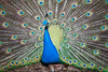 Peacock, Currumbin Wildlife Sanctuary, QLD