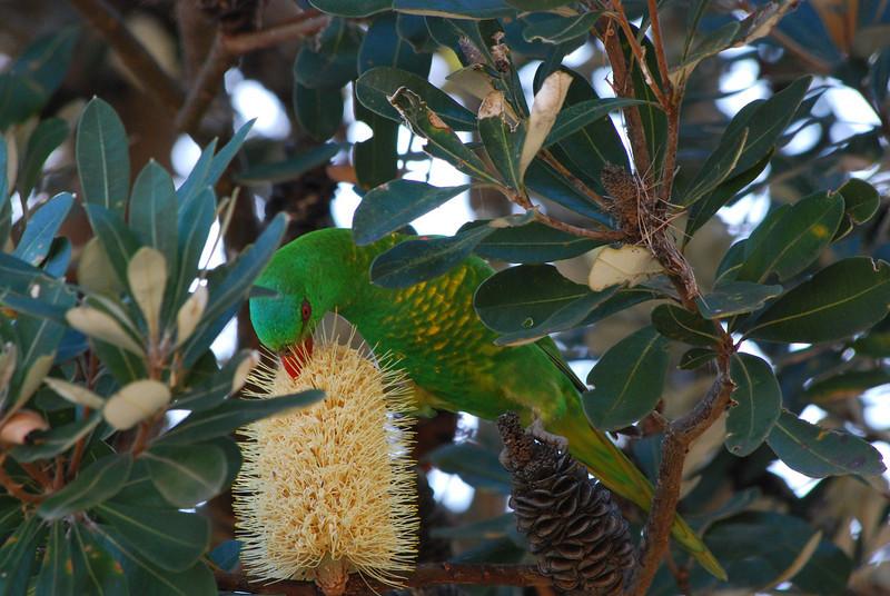 Scaly-breasted Lorikieet, Cabarita Beach, NSW