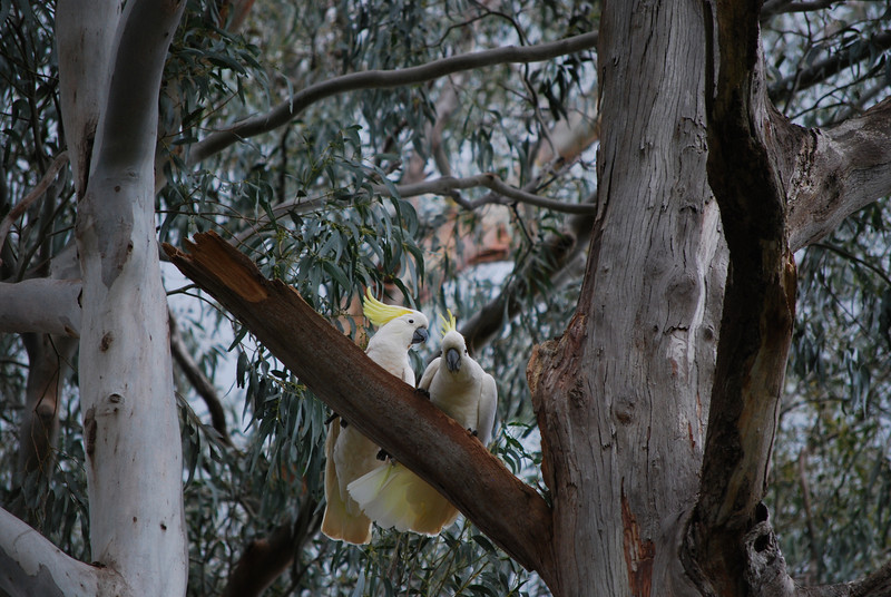 Pair of cockatoos checking out a nesting hollow.