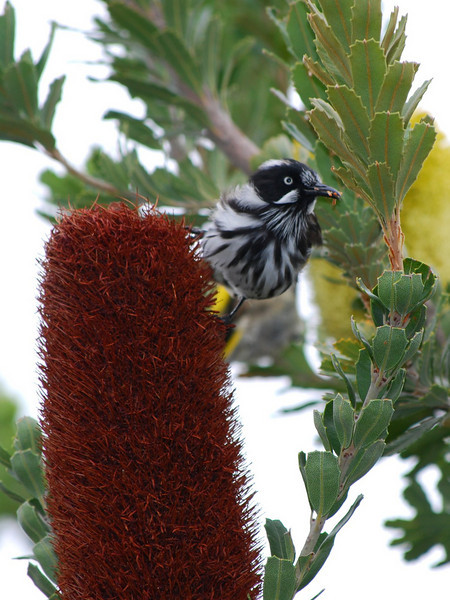 New Holland honeyeater on Banksia
