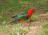 Male King Parrot, Maroondah Reservoir, January 2011