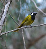 White-eared Honeyeater, Royal Botanic Gardens, Cranbourne.
