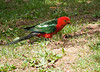 Badly cropped King Parrot, Maroondah Resevoir, January 2011