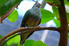 Rose-crowned fruit dove.  This one was hanging out in the butterfly house at the Melbourne Zoo.
