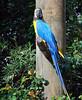 Macaw, Corrumbin Sanctuary, Qld