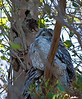 One -very- plump Tawny Frogmouth blocking most of its companion from view.<br /> Spotted at Jell's Park, January 2011